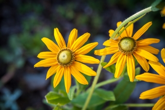 Green-eyed Susan