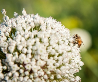 Leek flower with honey bee
