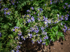 Polemonium, Jacob's Ladder