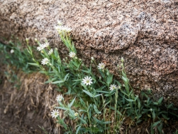 Fabulous delicate rock gardens on top of 8200' Tiffany Mountain