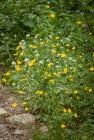A long-stemmed buttercup