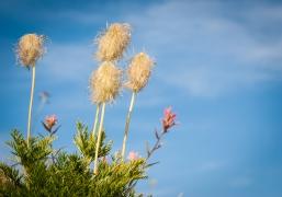 anemone seedhead