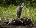 Great Blue Heron preening