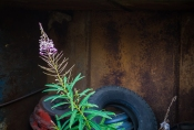 Fireweed and rust