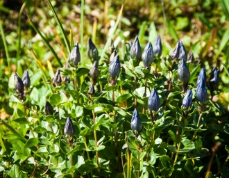 Blue gentian - one of the few blooming wildflowers