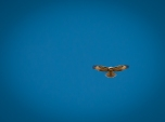 Two of these Red-tailed Hawks soared above us - kiting in search of food