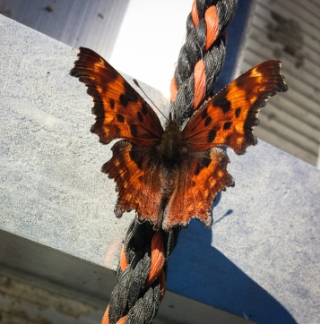 This late season butterfly was on a firewood trailer we passed along the road