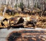 Something stinky that Sky found. Maybe a baby beaver skull?