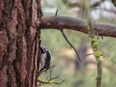 Hairy Woodpecker listening