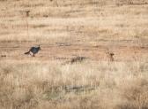 Coyote running away