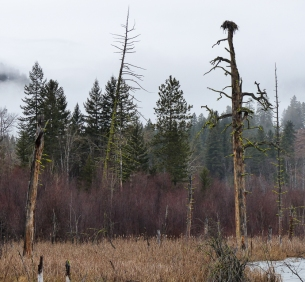 Osprey nest, also used by Canada Geese earlier in the season