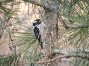 Downy Woodpeckers are plentiful this time of year