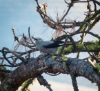 A Clark's Nutcracker caches seeds in the loose bark for wintertime foraging