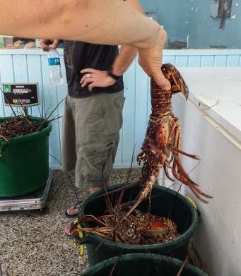 Enormous lobsters!