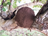 We speculated that an insect created these large brown lumps on trees