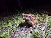 non-native toad