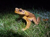 native toad