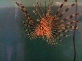 Invasive lionfish