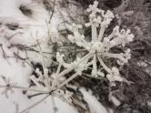 Frosty lomatium