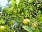 Fresh limones