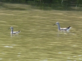 I think these were yellowlegs