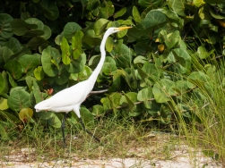 Great Egret. Cattle Egrets were much more common. They followed the horses.