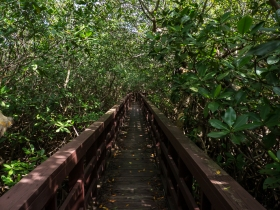 Boardwalk through a mangrove forest to a brackish lagoon.