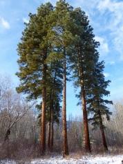 Magnificent ponderosa pines