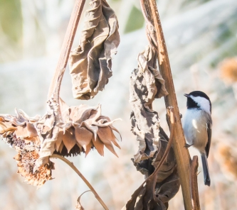 Black-capped Chickadee. Most of our chickadees are Mountain.