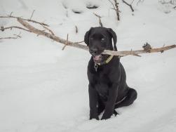 Little dog likes big sticks