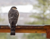 I am pretty sure this is a Sharp-shinned Hawk, probably a female since it seems big.