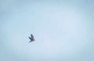 A Kestrel 'kiting' in search of prey.