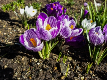 With three feet of snow on the ground at home, these crocuses were a welcome sight.