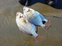 A stringer of surf perch