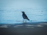 Northwest Crow