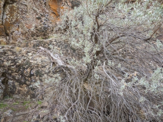 This ancient sagebrush grew right out of the rock