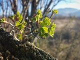 The currants are leafing out