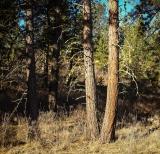 Ponderosa pines in the morning sun