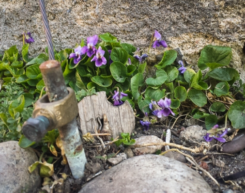 Violets in bloom in a Winthrop alley