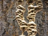 Fungi on a dead cottonwood