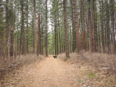 Through the pine forest