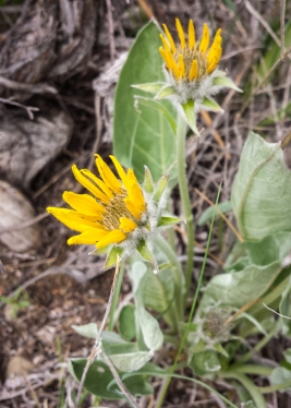 The first balsamroot blooming at home