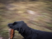 Dog with a stick in a hurry.