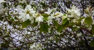Serviceberry in full bloom!