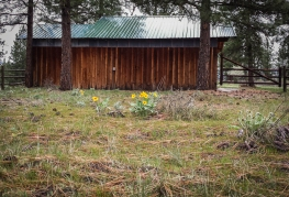 Balsamroot in front of our neighbors' small barn