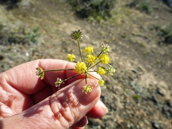 A small yellow desert-parsley, maybe Lomatium triternatum