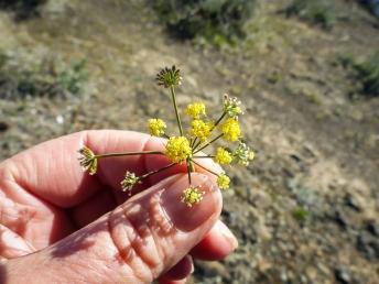 A small yellow desert-parsley, maybe Lomatium triternatum