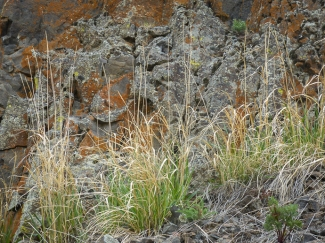 Basin giant rye in front of a basalt cliff