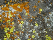 How many lichen species are on this rock face?