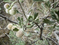 An insect gall on big sagebrush, Artemesia tridentata.